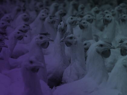 Curso de Capacitación Manejo del Pollo Parrillero